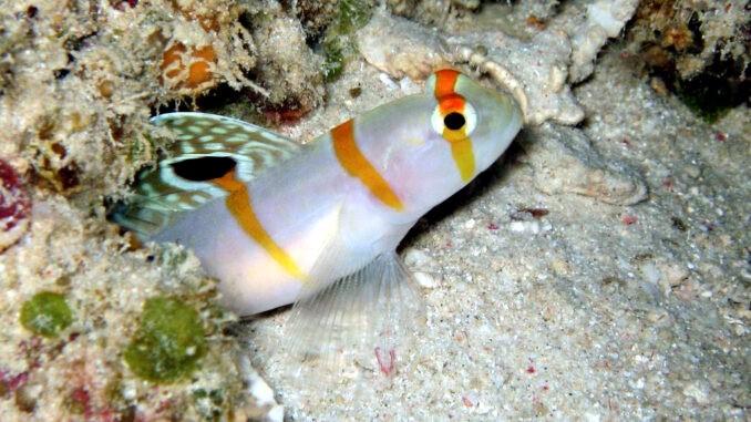 Partnergrundel im Aquarium