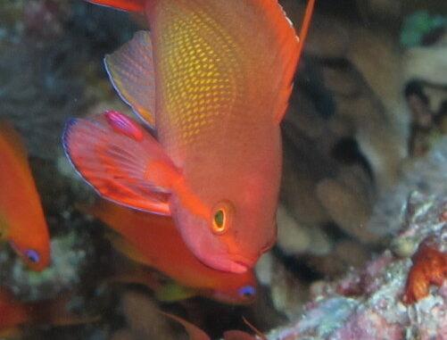Juwelen Fahnenbarsch im Aquarium