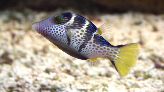 Sattel-Spitzkopf-Kugelfisch im Aquarium