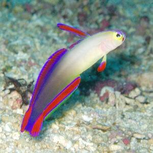 Dekor-Schwertgrundel im Aquarium