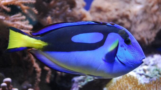 Paletten-Doktorfisch im Aquarium
