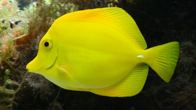 Hawaii Doktorfisch im Aquarium