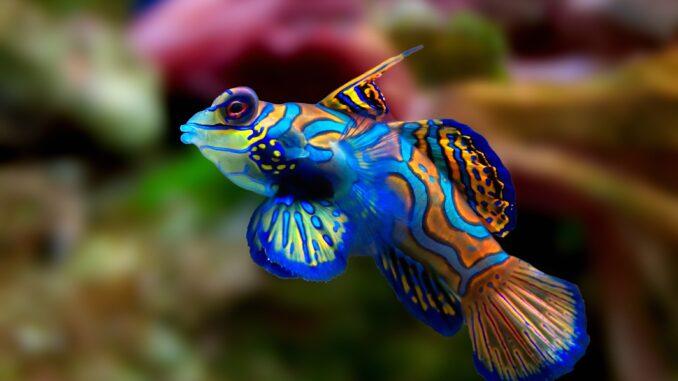 Mandarinfisch im Aquarium