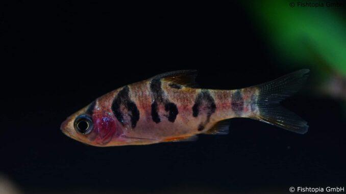 Desmopuntius Rhomboocellatus – Rhombenbarbe - Image 1   © Fishtopia GmbH