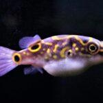 Dichotomyctere Ocellatus – Figure 8 Kugelfisch Image 1