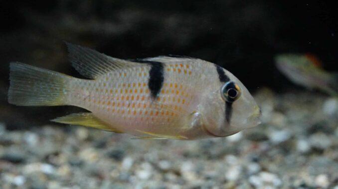 Guianacara Sphenozona – Sattelfleckbuntbarsch Image 1