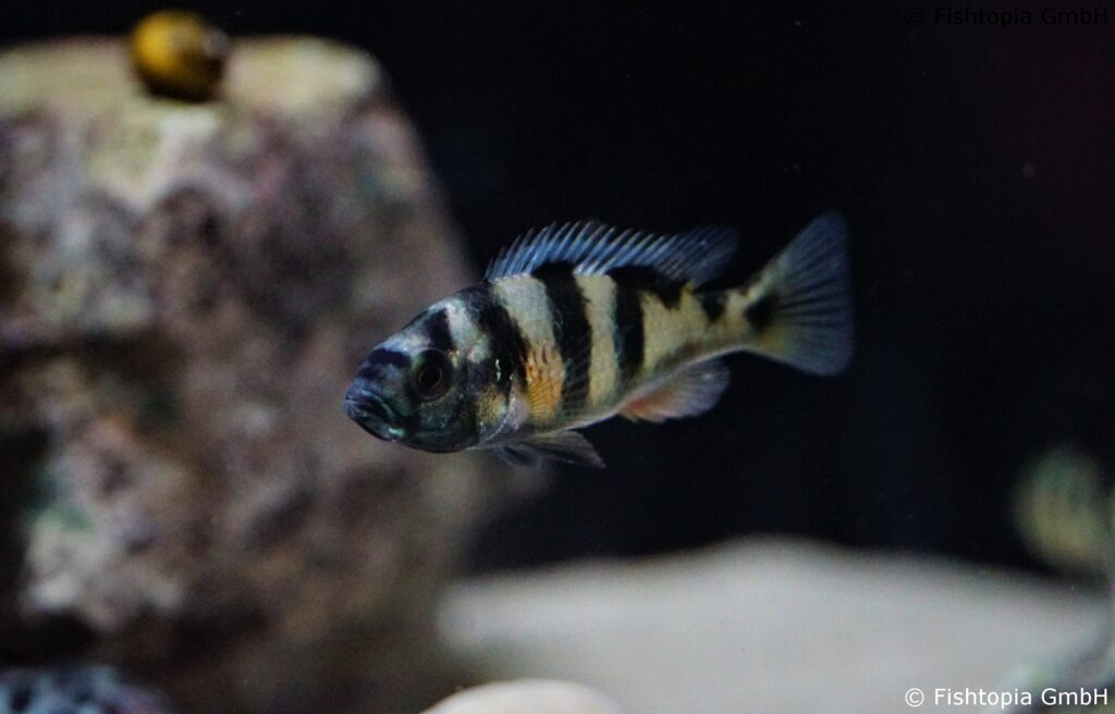 Haplochromis obliquidens – Viktoriasee Buntbarsch Image 1