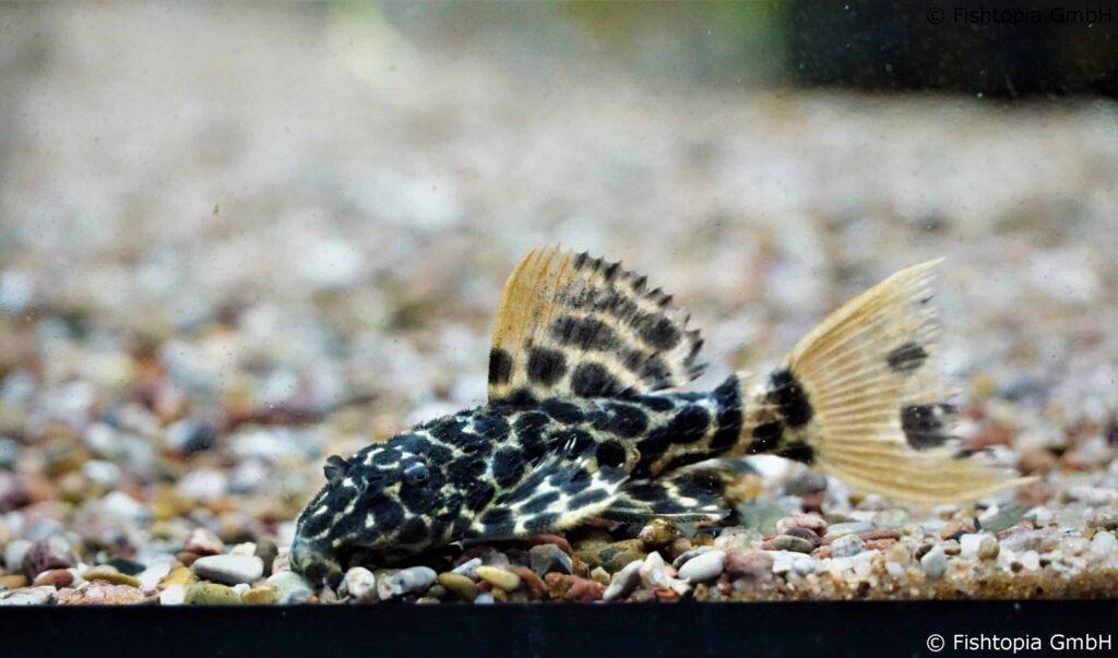 L114 Pseudacanthicus cf.leopard – L114 Leopard Cactus Pleco 4-5cm WF - Image 1