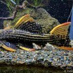 L25 Pseudacanthicus sp. – Rotflossen Kaktuswels WF 20-25cm - Image 2