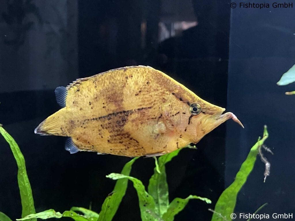 Blattfische