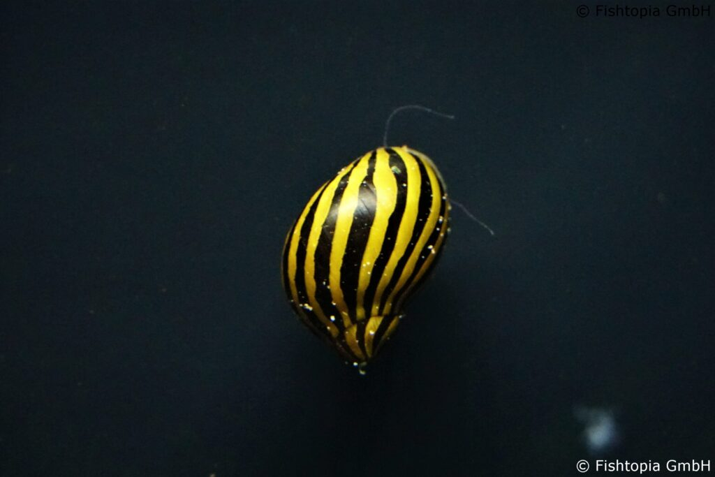 Zebra Rennschnecke