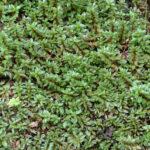 Sumpfe Heusenkraut - Ludwigia palustris